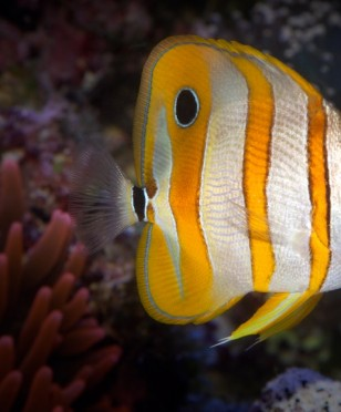 03318 copperbandbutterflyfish 2560x1440
